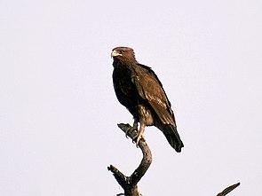 Schelladler (Aquila clanga)