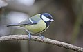 Great tit (24205522987).jpg