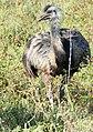 Greater Rhea (Rhea americana) (48429880026).jpg