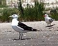 Greater black back gull & royal tern (5015293932).jpg