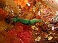 Green Nudibranch - Poor Knights Islands - 4329133268.jpg