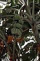 Green banana tree.jpg