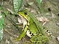 Green frog 2006.jpg