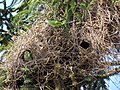 Green parrots at Parque por la Paz Villa Grimaldi - Santiago Chile - Peace Park (5277474635).jpg