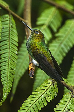 Greenish Puffleg - Colombia S4E3301.jpg