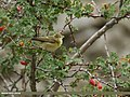 Greenish Warbler (Phylloscopus trochiloides) (32883738516).jpg