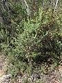 Grevillea lanigera (37804699992).jpg