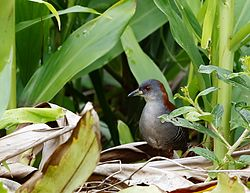 Grey-breasted crake-Sanã-do-capim-Burrito pecho gris (Laterallus exilis).jpg