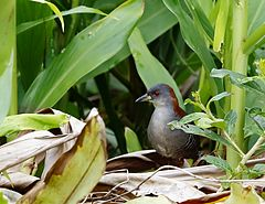 240px grey breasted crake san%c3%a3 do capim burrito pecho gris (laterallus exilis)