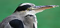 Grey Heron Crop.JPG