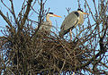 Grey Herons (Ardea cinerea) -2 on nest.jpg