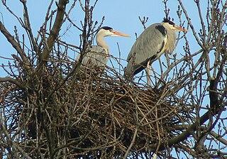Volavka popolavá (lat. Ardea cinerea) na hniezde