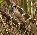 Grey Woodpecker (Mesopicos goertae).jpg
