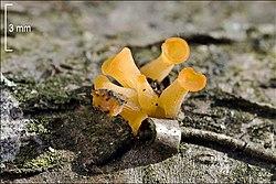 Guepiniopsis buccina 70786.jpg