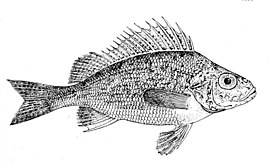 Gymnocephalus cernuus drawing.jpg