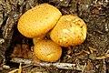 Gymnopilus junonius (31317186983).jpg