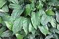 HK 上環 Sheung Wan 永利街休憩花園 Wing Lee Street Rest Garden plant green leave October 2017 IX1 f.jpg