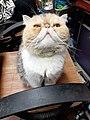 HK HH 紅磡 Hung Hom 異國長短毛貓 Exotic Shorthair bleed cat November 2020 SS2 02.jpg