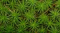 Haircap Moss (Polytrichum sp.) - Gatineau Park, Quebec 02.jpg