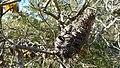 Hairpin Banksia cone (8704372448).jpg