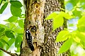 Hairy woodpecker (26670135891).jpg