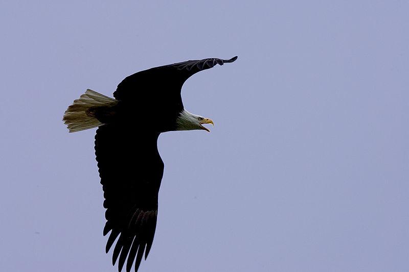 File:Haliaeetus leucocephalus-flight2-USFWS.jpg