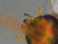 Halticoptera laevigata (35736911533).jpg