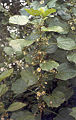 Hampea trilobata in flower.jpg