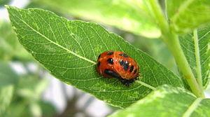Harmonia axyridis - Pupa on leaf.jpg