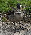 Hawaiian goose.jpg