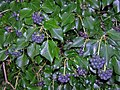 Hedera hibernica with berries--w.jpg