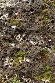 Heldenfinger-Kliff Pholadidae Bohrmuscheln Schwaebische-Alb.jpg