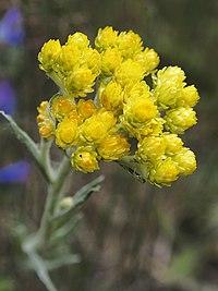 H. arenarium, hedblomster