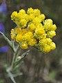 Helichrysum arenarium Sand-Strohblume 160703-0984 TegelFließ SOOCx.jpg