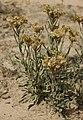 Helichrysum arenarium kz2.jpg