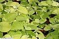 Helichrysum petiolare Lime 3zz.jpg