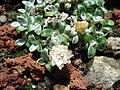 Helichrysum sessilioides 1.JPG