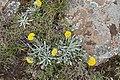 Helichrysum subglomeratum (Compositae) (6786090142).jpg