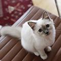 Heligbirma kattunge.jpg