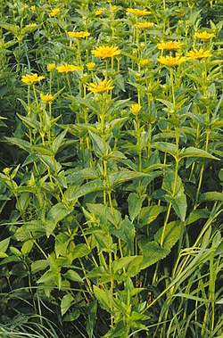 definition of heliopsis