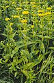 Heliopsis helianthoides.jpg
