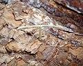 Hellinsia sp (36985745525).jpg