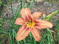 Hemerocallis fulva cv mikido-flower-yercaud-salem-India.JPG