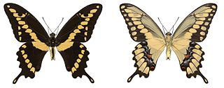 <i>Papilio rumiko</i> species of insect
