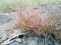 Herb found on Rocky Hills of Pravithanam.jpg