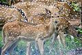 Herd of Axis Deer.jpg
