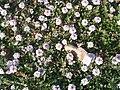 Hernandulcin plant.jpg