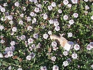 Phyla dulcis - Image: Hernandulcin plant