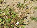 Heuchera cylindrica1.jpg