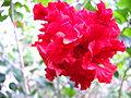 Hibiscus Aish.JPG